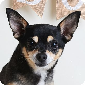 Mixed Breed (Small)/Chihuahua Mix Dog for adoption in Wilmington, Delaware - Baby Boy