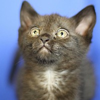 Domestic Shorthair Kitten for adoption in Winston-Salem, North Carolina - Daisy