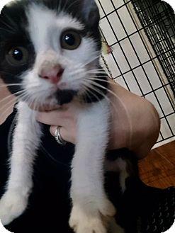 Domestic Shorthair Kitten for adoption in Ashland, Ohio - Luke