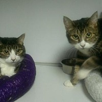 Adopt A Pet :: Mieula and Kitalicious - Sacramento, CA