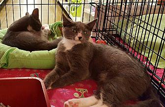 Domestic Shorthair Kitten for adoption in Irwin, Pennsylvania - Felix