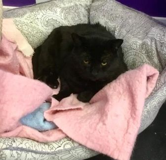Domestic Shorthair/Domestic Shorthair Mix Cat for adoption in Erin, Ontario - Oskee