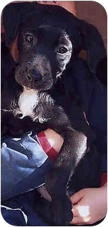Terrier (Unknown Type, Small) Mix Puppy for adoption in Owatonna, Minnesota - Hava