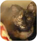 Domestic Shorthair Kitten for adoption in Norwalk, Connecticut - Sheila