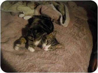 Domestic Shorthair Kitten for adoption in Davis, California - Jerga
