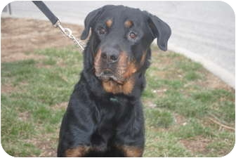 Rottweiler Dog for adoption in Medford, New Jersey - Hercules