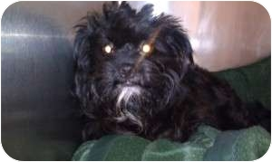 Schnauzer (Miniature)/Poodle (Miniature) Mix Dog for adoption in Mary Esther, Florida - Rudy