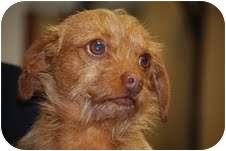 Dachshund Mix Dog for adoption in Hershey, Pennsylvania - Peanut
