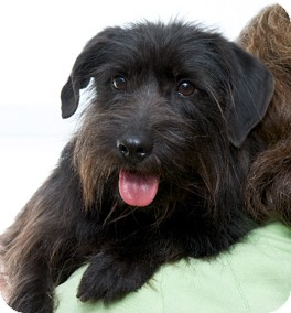 Terrier (Unknown Type, Small) Mix Dog for adoption in Mt. Prospect, Illinois - Rags