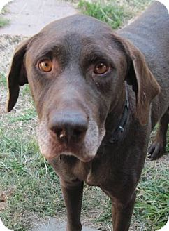 German Wirehaired Pointer/Labrador Retriever Mix Dog for adoption in Lexington, Kentucky - Boss