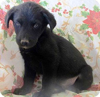 "Labrador Retriever Puppy for adoption in Oswego, Illinois - Favorite Flavors ""Chip"""