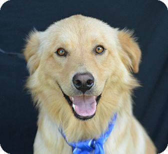 Golden Retriever Mix Dog for adoption in Plano, Texas - Jaggar