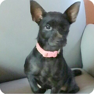 Terrier (Unknown Type, Small)/Norwegian Elkhound Mix Dog for adoption in Miami, Florida - Beth