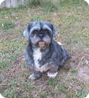 Shih Tzu Dog for adoption in Mary Esther, Florida - Cookie