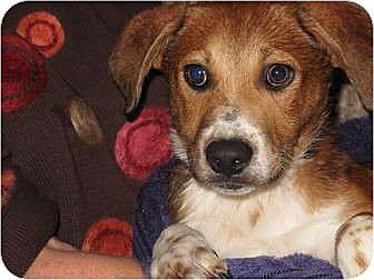 Beagle/Catahoula Leopard Dog Mix Puppy for adoption in Sunnyvale, California - Dove