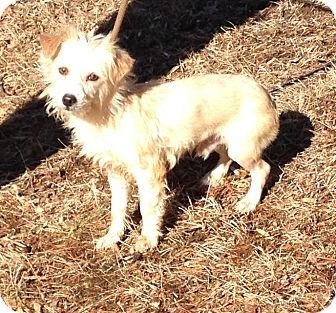Terrier (Unknown Type, Small) Mix Dog for adoption in Bloomfield, Connecticut - St Kitts