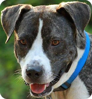 Terrier (Unknown Type, Medium)/Boxer Mix Dog for adoption in Cary, North Carolina - Max--ADOPTED