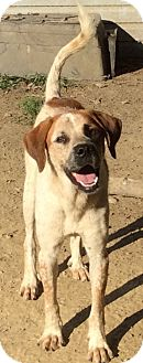 St. Bernard/Redtick Coonhound Mix Dog for adoption in Cincinnati, Ohio - Bryson