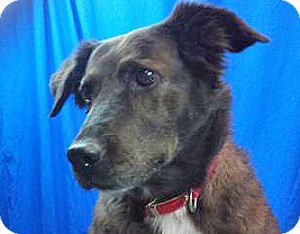 Labrador Retriever Mix Dog for adoption in Spokane, Washington - Fancy Face