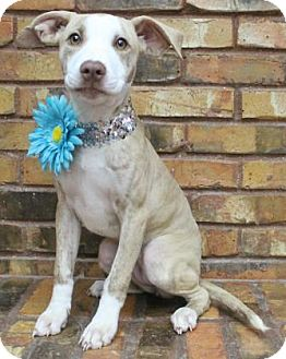 Pit Bull Terrier Mix Puppy for adoption in Benbrook, Texas - Trixie