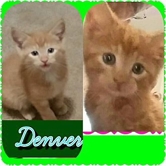 Domestic Shorthair Kitten for adoption in Hainesville, Illinois - Denver