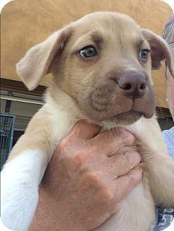 Husky/Australian Cattle Dog Mix Puppy for adoption in Cave Creek, Arizona - Frankie