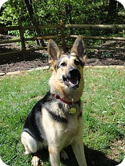 German Shepherd Dog Dog for adoption in Roswell, Georgia - Annabelle (Guest)