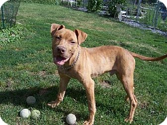 Pit Bull Terrier Puppy for adoption in Tyrone, Pennsylvania - Cash-PENDING