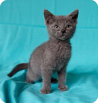 Russian Blue Kitten for adoption in Tallahassee, Florida - Master