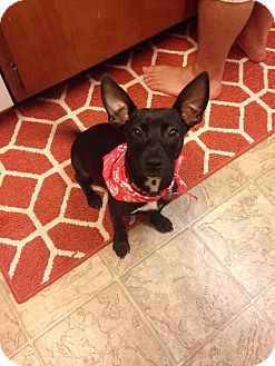 Dachshund/Chihuahua Mix Puppy for adoption in Daleville, Alabama - Jeanie
