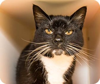 Domestic Shorthair Cat for adoption in Lowell, Massachusetts - Peeves