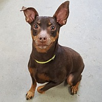 Miniature Pinscher Mix Dog for adoption in East Hartford, Connecticut - Tito