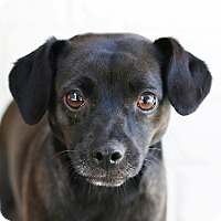 Adopt A Pet :: Mia - West Los Angeles, CA