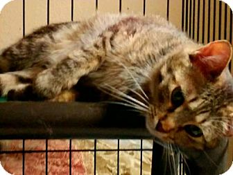 Domestic Shorthair Cat for adoption in Denver, Colorado - Millie