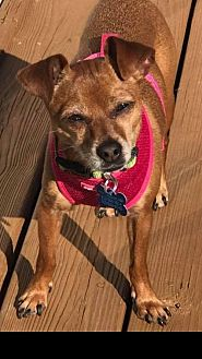Chihuahua Dog for adoption in Landenberg, Pennsylvania - LuLu