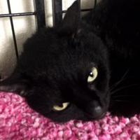 Adopt A Pet :: Ninja 02-05-17 - Bulverde, TX