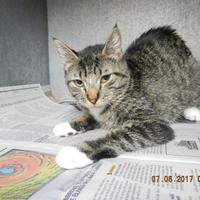 Domestic Shorthair/Domestic Shorthair Mix Cat for adoption in Pasco, Washington - Laila