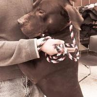 Labrador Retriever/American Pit Bull Terrier Mix Dog for adoption in Lowell, Indiana - Maximillian