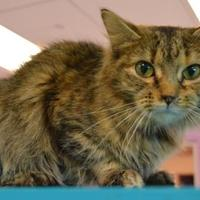 Domestic Mediumhair/Domestic Shorthair Mix Cat for adoption in Elkhorn, Wisconsin - Finley