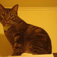 Adopt A Pet :: Pepper - Sterling, VA