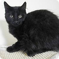 Domestic Longhair Kitten for adoption in Milwaukee, Wisconsin - Giselle
