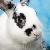 Adopt A Pet :: Dakota-P - Pflugerville, TX