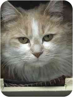 Domestic Longhair Cat for adoption in Norwalk, Connecticut - Izzy