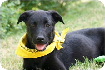Labrador Retriever/Retriever (Unknown Type) Mix Puppy for adoption in Pawling, New York - COOPER