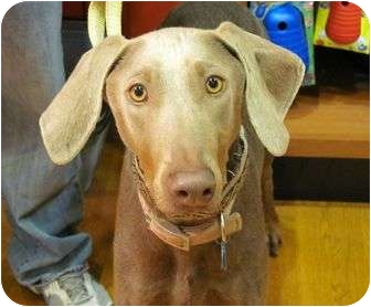 Doberman Pinscher Dog for adoption in New Richmond, Ohio - Alexis--adopted!!