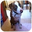 Photo 4 - Pointer/American Staffordshire Terrier Mix Dog for adoption in Bellflower, California - Leah