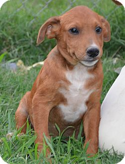 Labrador Retriever Mix Puppy for adoption in Plainfield, Connecticut - Jewels