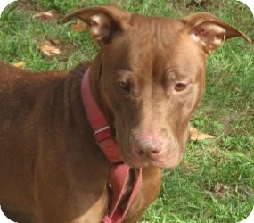 Pit Bull Terrier/Hound (Unknown Type) Mix Dog for adoption in Bloomfield, Connecticut - Treats
