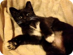 Domestic Shorthair Kitten for adoption in Brooklyn, New York - MIMI