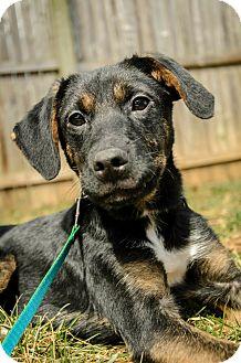 Labrador Retriever/Fox Terrier (Smooth) Mix Puppy for adoption in Lancaster, Pennsylvania - Jake Weber